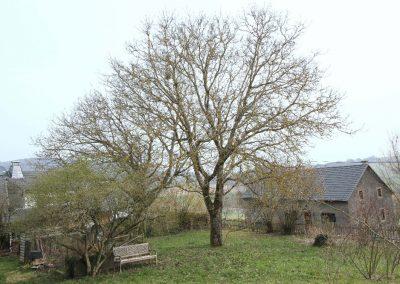 prächtige Walnussbäume im Garten